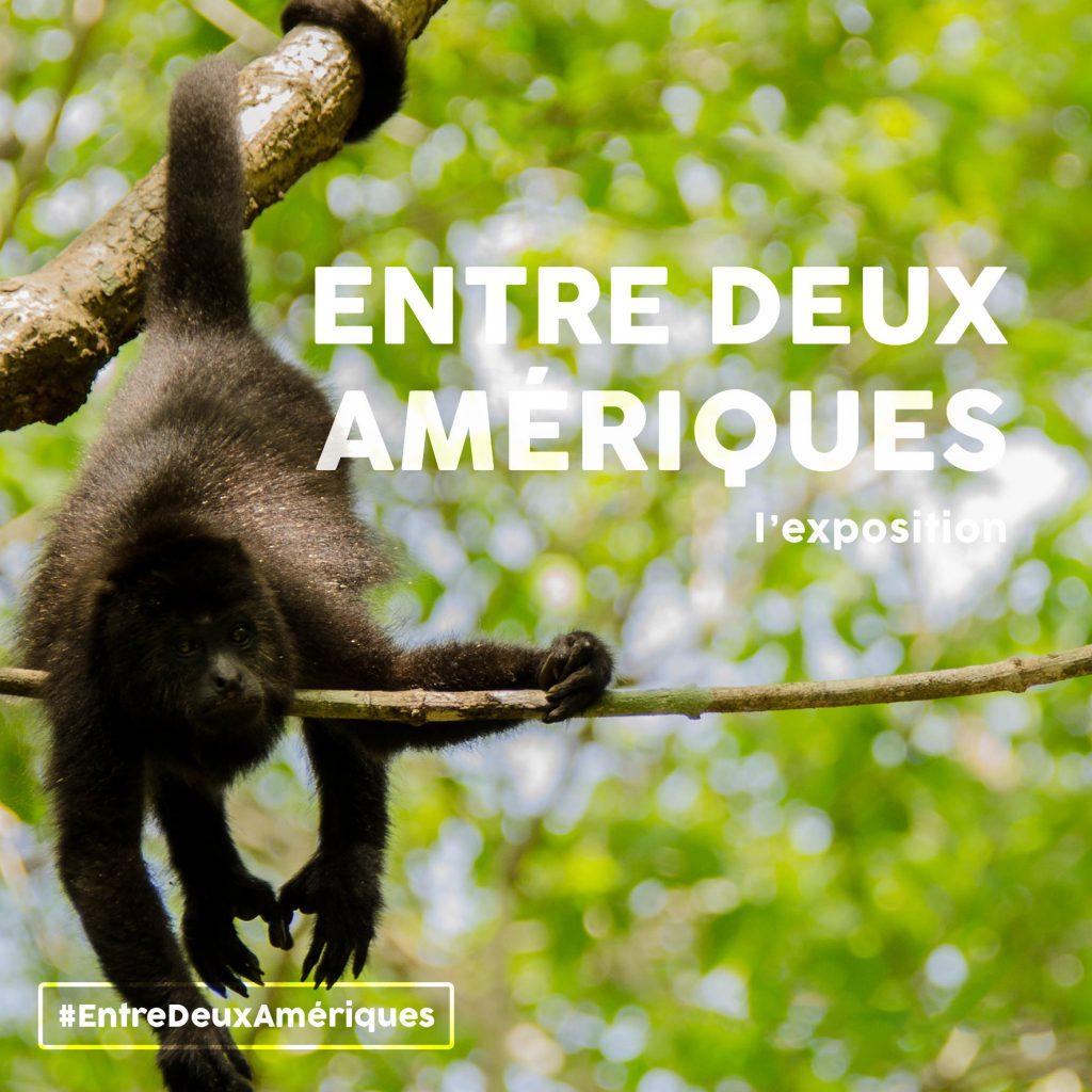 NatExplorers / Entre Deux Amériques - singe hurleur