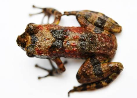 NatExplorers - Mantidactylus sp.