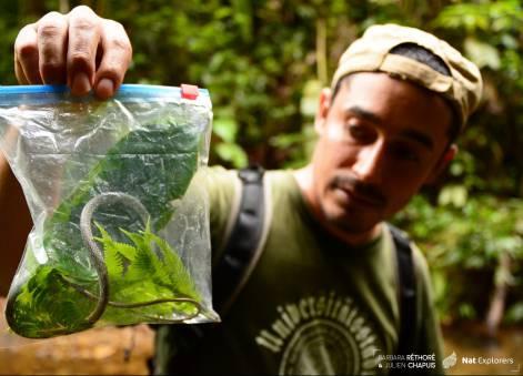 NatExplorers - Leptophis cupreus - newspecies